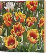 Tulips At Dallas Arboretum V71 Wood Print