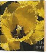 Tulips At Dallas Arboretum V76 Wood Print
