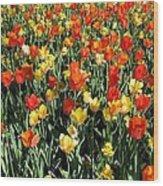 Tulips - Field With Love 50 Wood Print