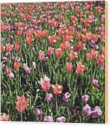 Tulips - Field With Love 56 Wood Print