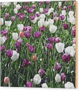 Tulips - Field With Love 60 Wood Print