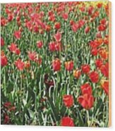 Tulips - Field With Love 61 Wood Print