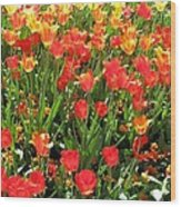 Tulips - Field With Love 68 Wood Print
