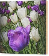 Tulips In Purple And White Wood Print