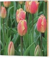 Tulips (tulipa 'oxford Elite') Wood Print