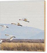 Tundra Swans In Flight Wood Print