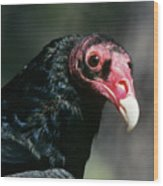 Turkey Vulture Cathartes Aura South Wood Print