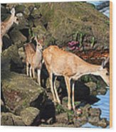 Twin Fawns And Mother Deer On The Shore Wood Print