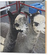 Two Alpacas Wood Print