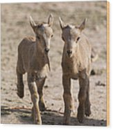 Two Aoudad Babies Playing Wood Print