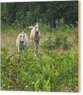 Two Appaloosa Horses  Wood Print