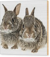 Two Baby Bunny Rabbits Wood Print