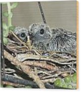 Two Baby Mourning Doves Wood Print
