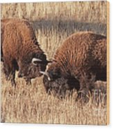 Two Bull Bison Facing Off In Yellowstone National Park Wood Print