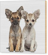 Two Chihuahua Puppies Sitting 3 Months Wood Print