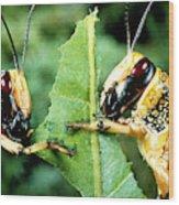 Two Desert Locusts Eating Wood Print