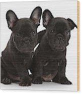 Two French Bulldog Puppies, 6 Weeks Wood Print
