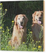 Two Golden Retrievers Sitting Together Wood Print