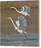 Two Greater Egrets  Wood Print