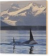 Two Killer Whales Surface In Lynn Canal Wood Print