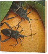 Two Leaf Footed Bugs On An Orange Wood Print