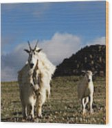 Two Mountain Goats Oreamnos Americanus Wood Print