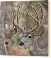 Two Mule Deer Bucks With Velvet Antlers  Wood Print