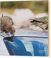 Two Nz Alpine Parrot Kea Trying To Vandalize A Car Wood Print