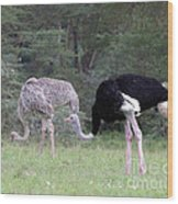 Two Ostriches Wood Print