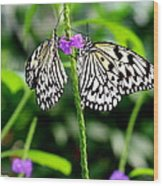 Two Paper Kite Or Rice Paper Or Large Tree Nymph Butterfly Also Known As Idea Leuconoe Wood Print