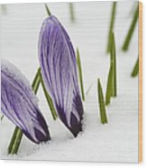Two Purple Crocuses In Spring With Snow Wood Print by Matthias Hauser
