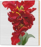 Two Red Parrot Tulips Wood Print