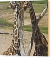 Two Reticulated Giraffes - Giraffa Camelopardalis Wood Print