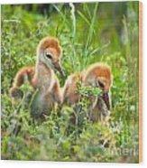 Two Sandhill Crane Chicks Wood Print