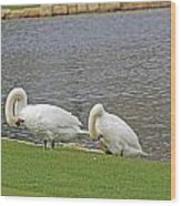 Two Swans Grooming Wood Print