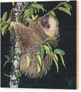 Two-toed Sloth Choloepus Didactylus Wood Print