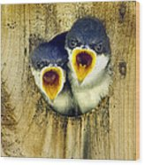 Two Tree Swallow Chicks Wood Print