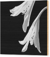 Two White Lilies Wood Print