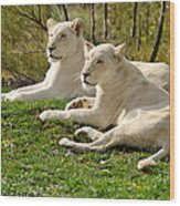 Two White Lions Wood Print