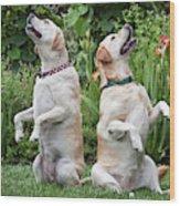 Two Yellow Labrador Retrievers Sitting Wood Print