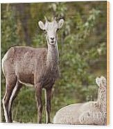 Two Young Stone Sheep Ovis Dalli Stonei Watching Wood Print