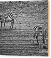Two Zebras Eating. Tanzania Wood Print