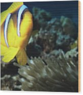 Twoband Anemonefish Wood Print
