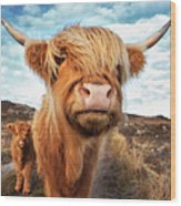 Uk, Scotland, Highland Cattle With Calf Wood Print