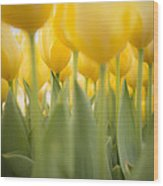 Under Yellow Tulips - 8x10 Format Wood Print