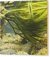 Underwater Shot Of Green Seaweed Attached To Rock Wood Print