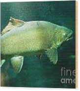 Underwater Shot Of Trophy Sized Tiger Trout Wood Print