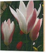Unfolding Tulips Wood Print