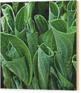Unfurling Of The Hosta Wood Print
