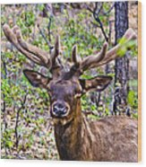 Up Close And Personal With An Elk Wood Print